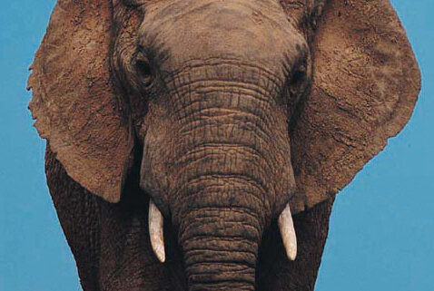 elephant on CBD Oil